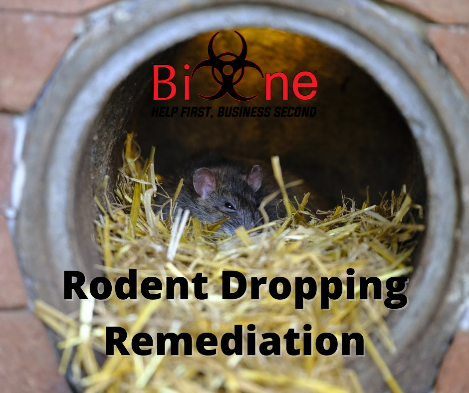 Rodent Droppings - Everything You Need to Know.